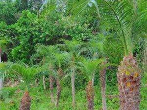八丈島植物