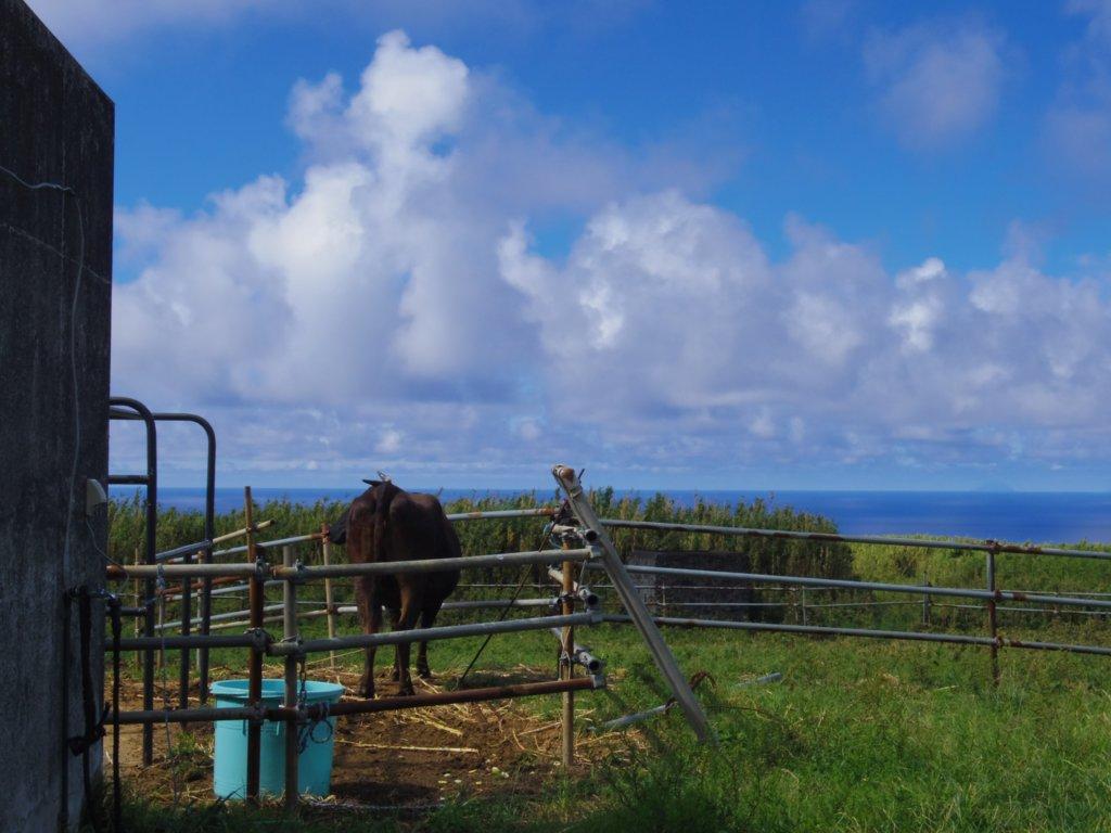 バケツと牛