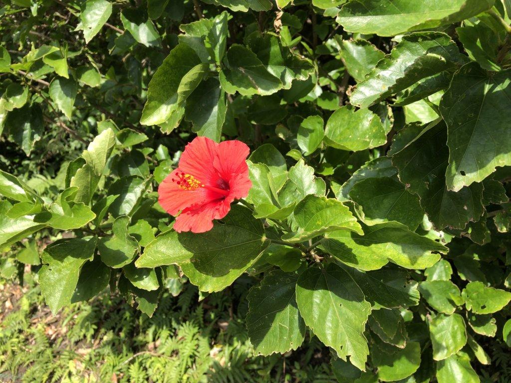 咲いているハイビスカス